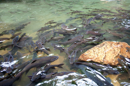 mahseer: Soro brook carp waterfall fish