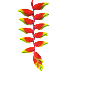 red heloconia flower isolated on white photo