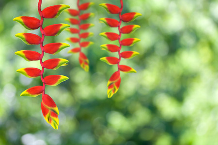 red heloconia flower on nature background photo