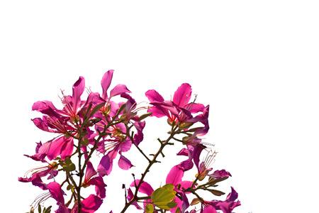 orchid tree: Flor p�rpura Bauhinia aislado sobre fondo blanco. �rbol de la mariposa, �rbol de orqu�dea.