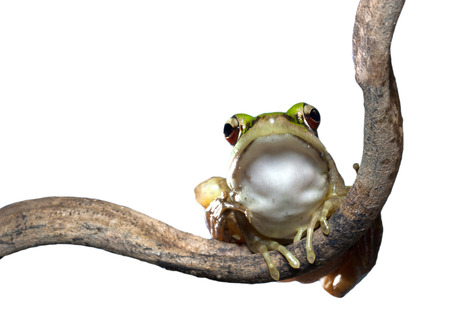 Red eyed tree  Frog on a branch Stock Photo