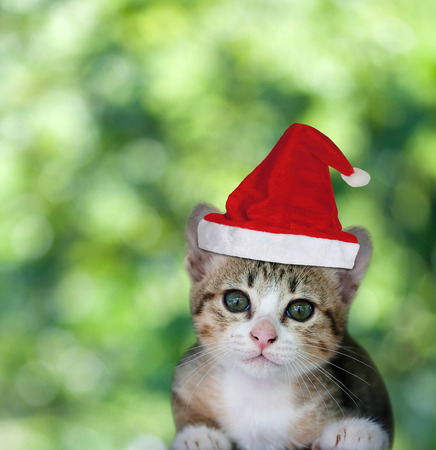 christmas pussy: Kitten in Santa Claus xmas red hat on green bokeh background. Stock Photo