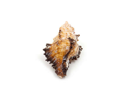 echinoderm: Yellow Sea shells on white background Stock Photo