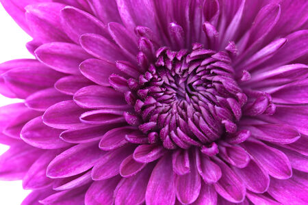 violet flower: Closeup of violet Chrysanthemum Flower Background