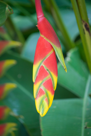 heliconiaceae: bird of paradise flower Stock Photo