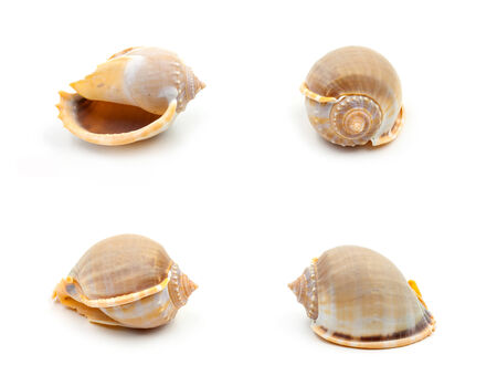 echinoderm: Yellow Sea shells Collection on white background