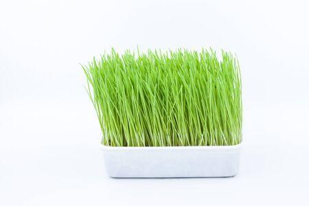 enriched: Green pet grass, cat grass