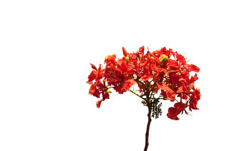 flamboyant: Flam-boyant flower isolatedo n white background