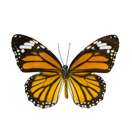 butterfly isolated: common tiger butterfly , Danaus Genutia , monarch butterfly isolated on white background