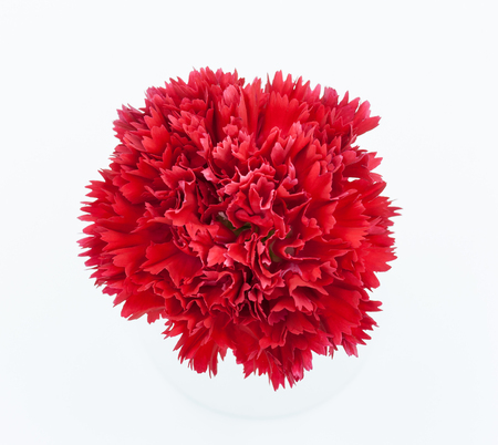 red  carnation: red carnation flower isolated on white background