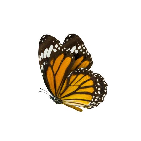 mariposas amarillas: mariposa tigre común, Danaus genutia, mariposa monarca aisladas sobre fondo blanco Foto de archivo