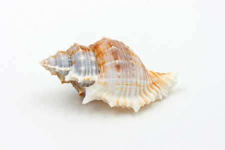 echinoderm: White sea shell  on white background