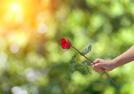 red rose bokeh: Female hand holding a single red rose over green bokeh background