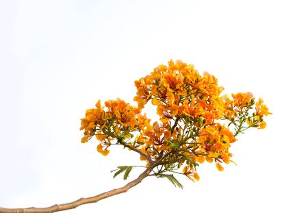 flamboyant: Orange flamboyant flower or Delonix regia(Bojer) isolated, Delonix regia flower is flower of asia Stock Photo