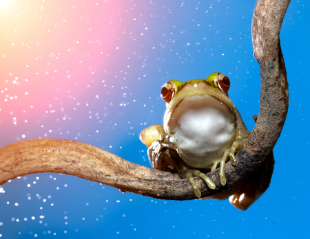 red eye frog: Red eye frog is a frog that lived in tropical rain hemp. Red Frog perched on a branch. - sunlightfilter effect Stock Photo