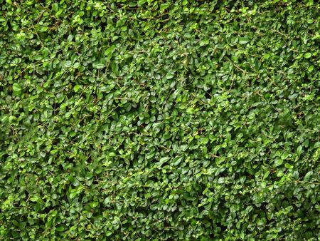 assort: Green leaf background of tea tree thailand. Stock Photo