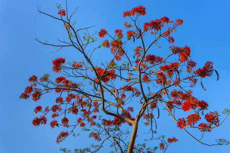 Big branch of Gulmohar flowers or peacock flowers