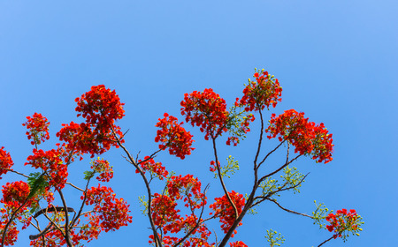 angiosperms: Big branch of Gulmohar flowers or peacock flowers