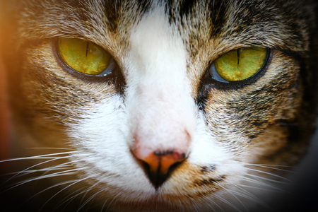 The Thai cat or Wichien Maat is a newly renamed but old cat breed, related to but distinct from the Western, modern Siamese cat.