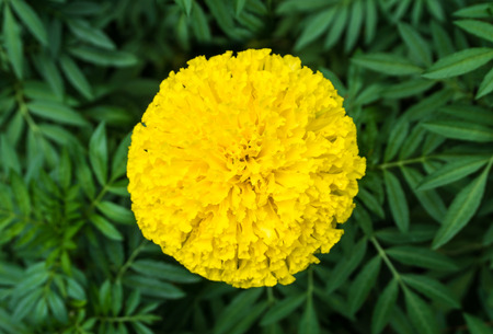 Top view of beautiful marigold flowers and leaf. (Tagetes erecta)