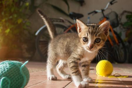 eye ball: 1 month year old Thai Kitten playing blue ball of yarn.