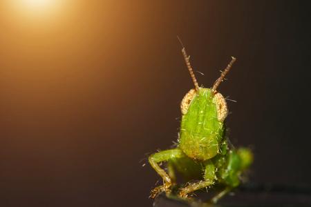 plants species: Piccola cavalletta verde guardando fotocamera e la luce del sole.
