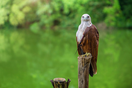 Red eagle Thailand sitting on tree branch and green nature background. Stock Photo