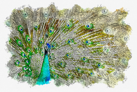 illustration or watercolor paint of peacock with beautiful feathers out.