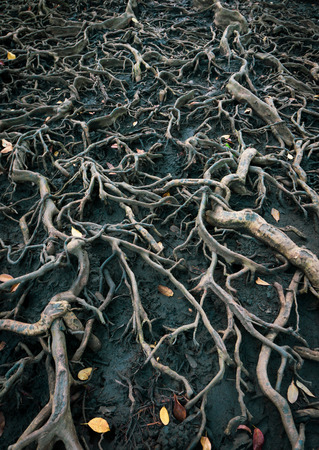 The roots of a large tree that grows bigger. The concept of growth.