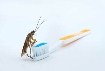 Isolated on white background of Asian Cockroaches are on the toothbrush.