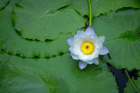 Violet and white thai water lily or lotus flower.