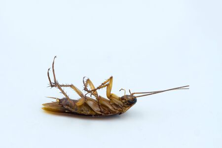 Isolated dead Asian Cockroaches on white background.