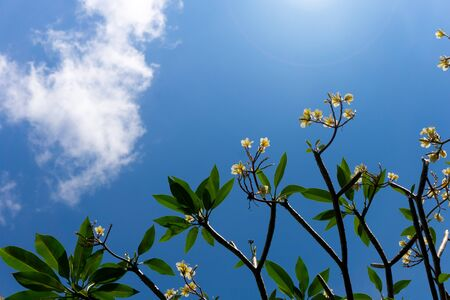 Plumeria flowers and blue sky background is a genus of flowering plants in the dogbane family, Apocynaceae. Most species are deciduous shrubs or small trees.