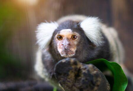 Portrait de singe ouistiti à oreilles touffues blanches dans le zoo. Banque d'images