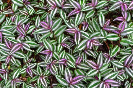 Tradescantia zebrina leaf background has zebra-patterned leaves, the upper surface showing purple new growth and green older growth parallel to the central axis
