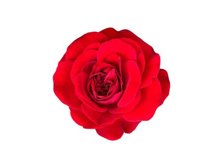 top view of a thailand red rose blossom isolated on white background
