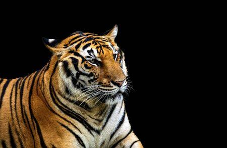 Tigres asiáticos que se encuentran en Tailandia. Aislado sobre fondo negro.