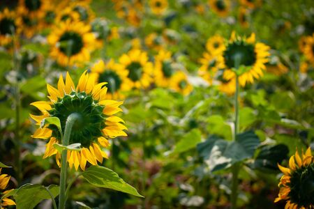 Sunflower species from Thailand that the farmers are planting to get seeds to proportion sunflower oil.