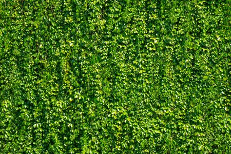 Leaves background with relatively small leaves And grow into walls.
