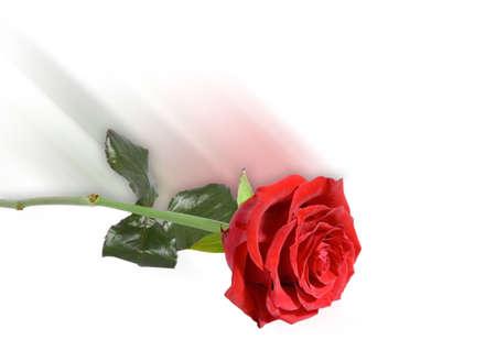 despacio: Rosa Roja  Foto de archivo