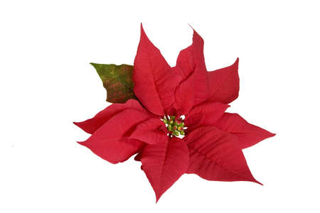 bracts: Red Poinsettia