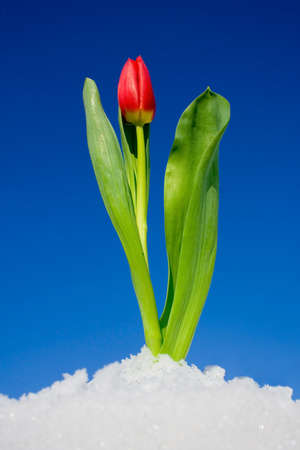 Red tulip against the sky photo