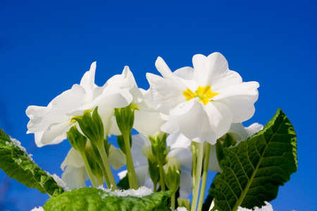 nodular: Spring - flower