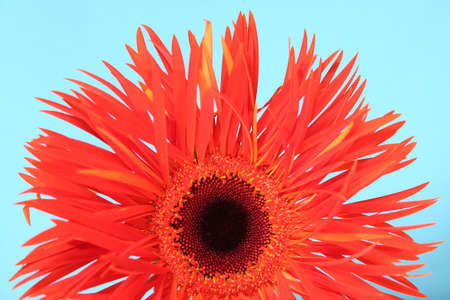 botanica: gerbera isolated over blue