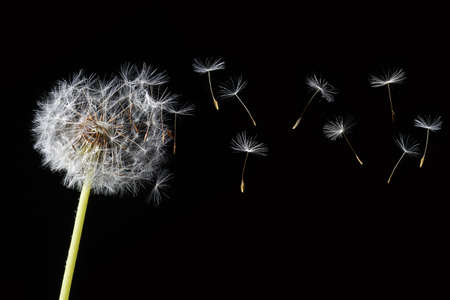 dandelion in the wind Stock Photo - 3123320