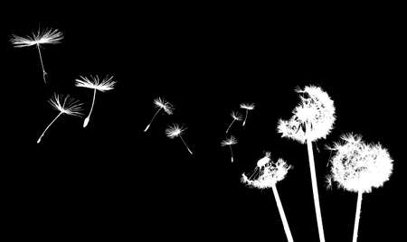 A Dandelion blowing photo