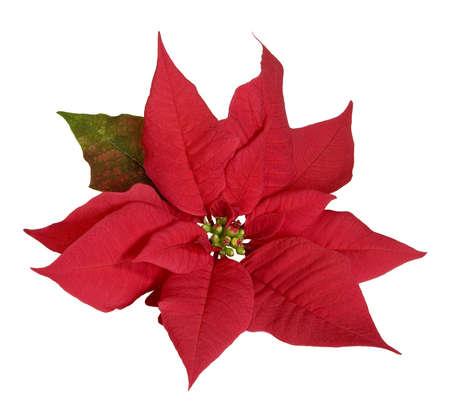 Poinsettia Standard-Bild