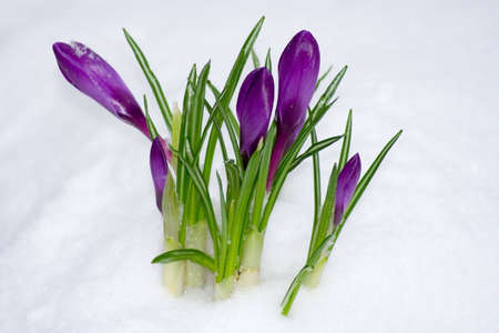 nodular: Spring flower in the snow