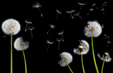 blow: silhouettes of dandelions in the wind on black background