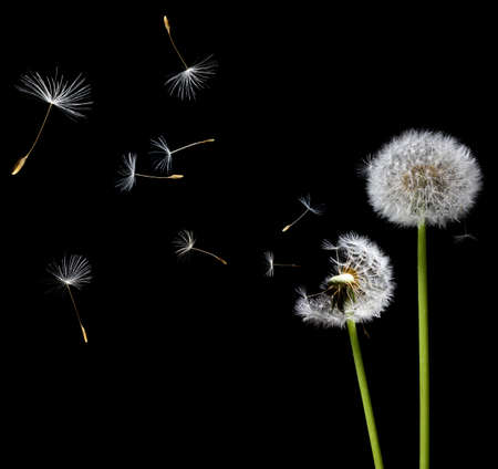 dandelion abstract: silhouettes of dandelions in the wind on black background
